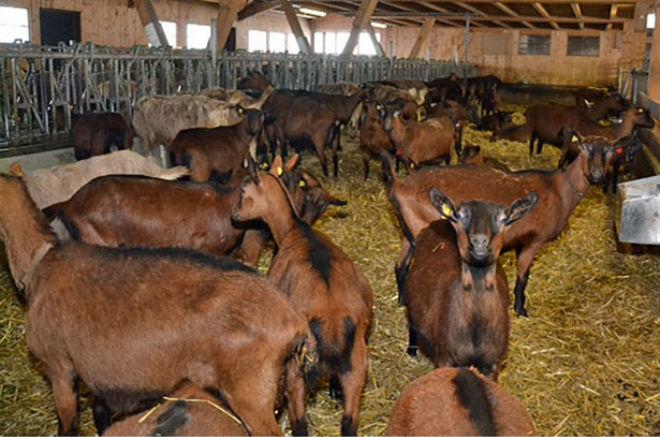 Чешские козы не привередливые и не требуют особых условий