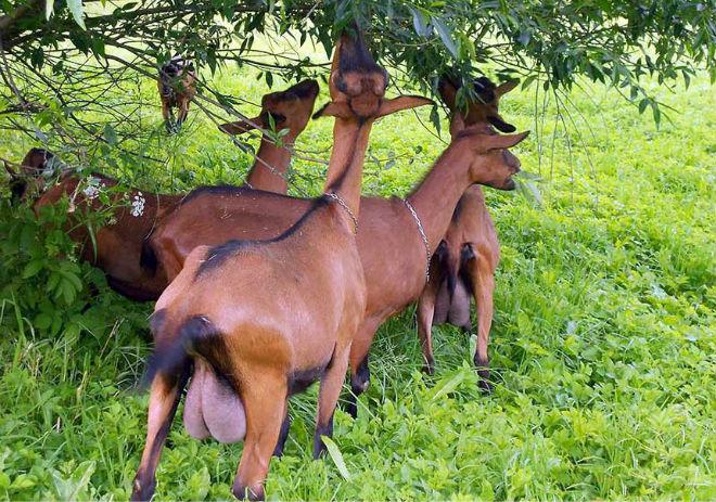 Козам нужен выгул летом и полноценное питание зимой