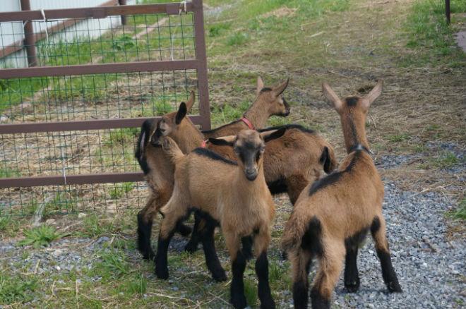 Чешских бурых коз легко разводить