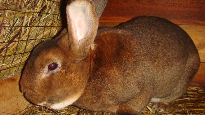 Чиктоник оказывает благотворное влияние на организм кроликов