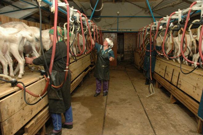 После дойки необходимо вымывать систему от молока