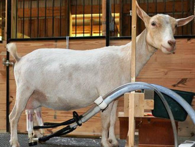 Специальный аппарат заменяет ручное доение коз