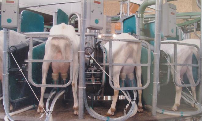 Специальные станки для доения коз