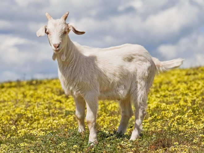 Горьковская порода коз отличается хорошими показателями продуктивности по мясу и молоку