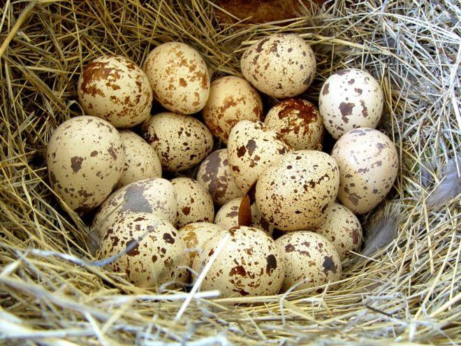 Гнездо перепелки в траве