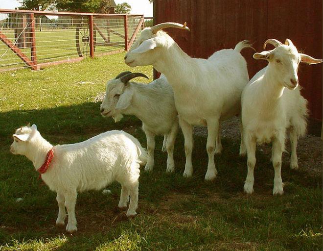 Перед покупкой козы надо узнать её возраст