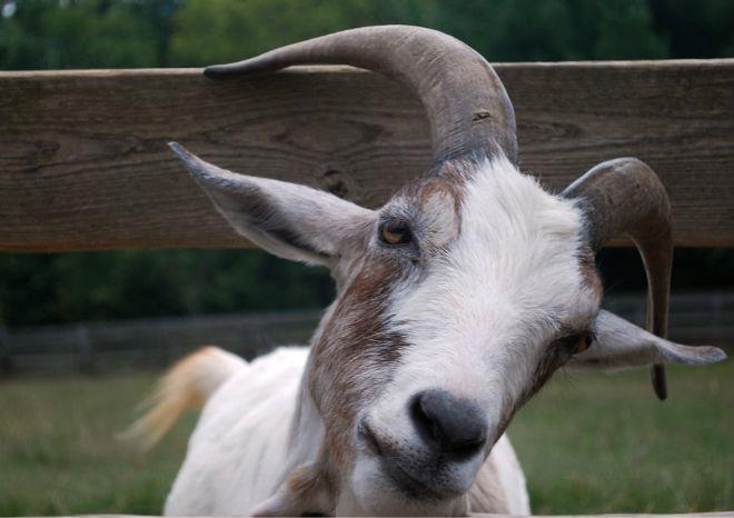 Примерный возраст козы определяется по рогам