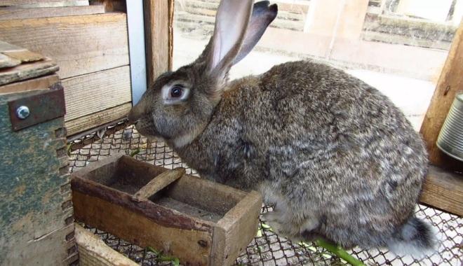 Перед смертью кролика отсаживают от всех и не дают корм
