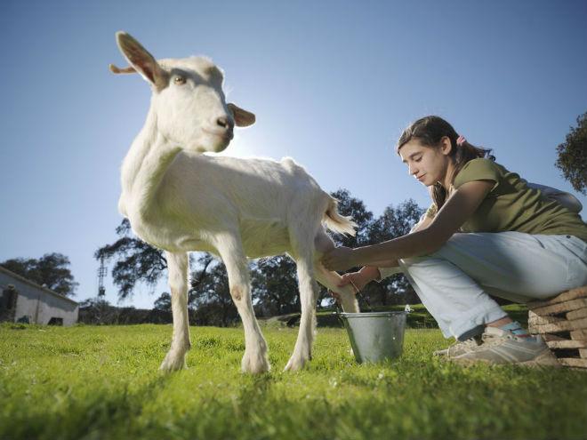 Правильное раздаивание козы повышает удои