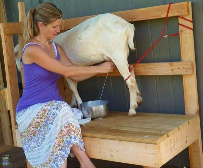 Специальные станки облегчают процесс доения коз