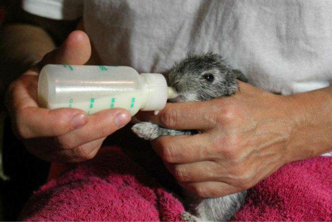 Для кормления крольчат делают специальные смеси