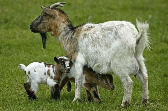 Камерунские козы приводят до четырёх козлят