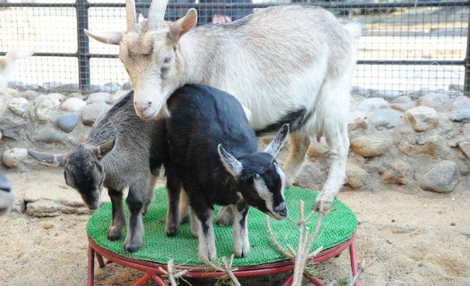 Камерунских коз можно держать в вольерах