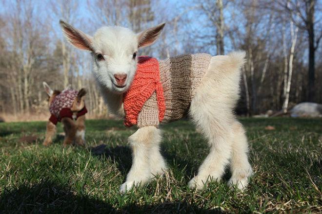 содержание карликовых коз