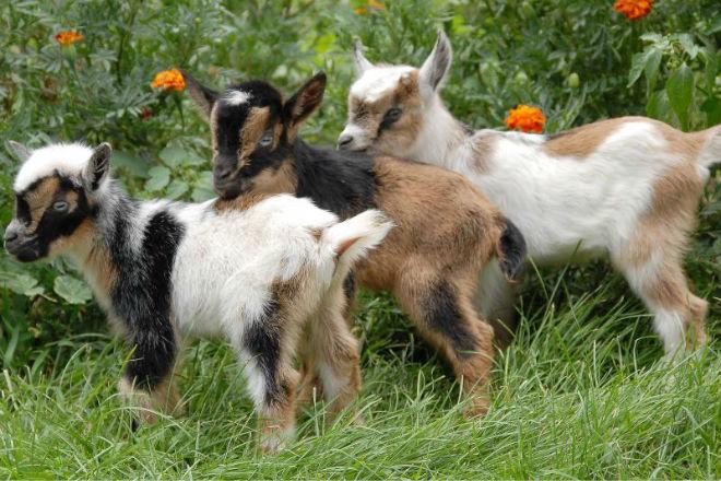 Нигерийские карликовые козы похожи на камерунских