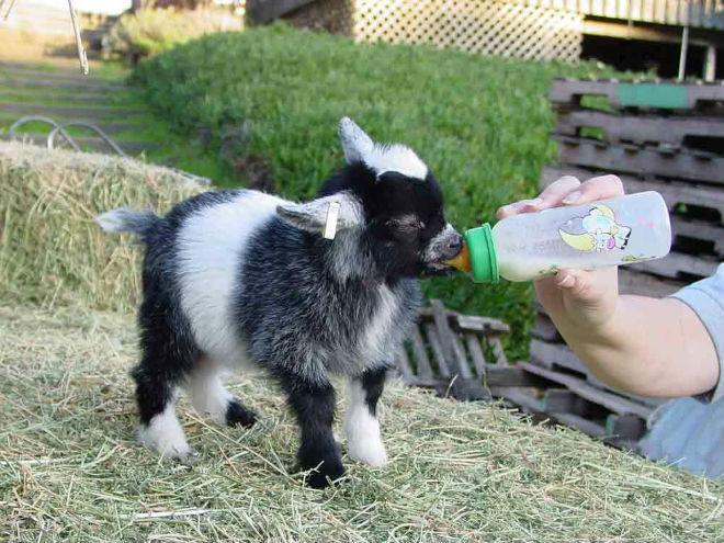 Кормление карликовых коз не отличается от питания обычных