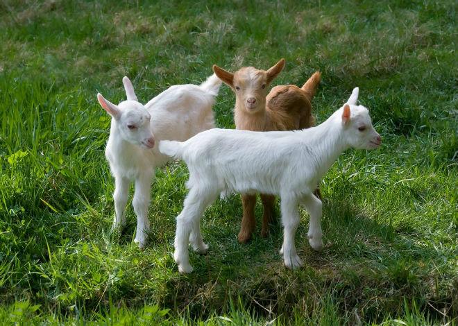 После кастрации козлята становятся более спокойными