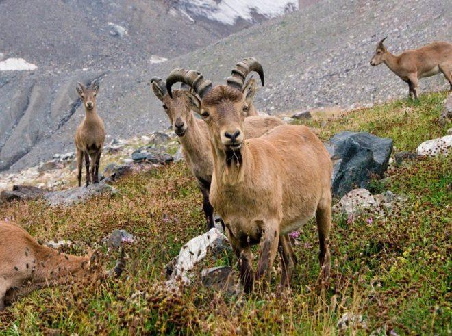 Горные козлы-туры обитают стадом и очень осторожны