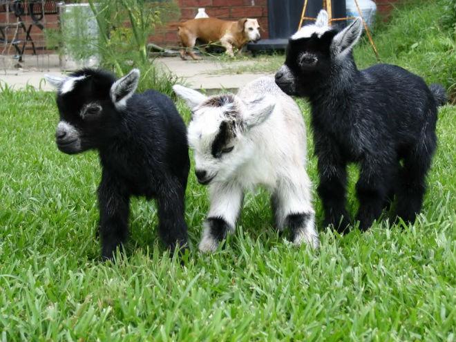 Клички козлятам обычно дают по внешним признакам