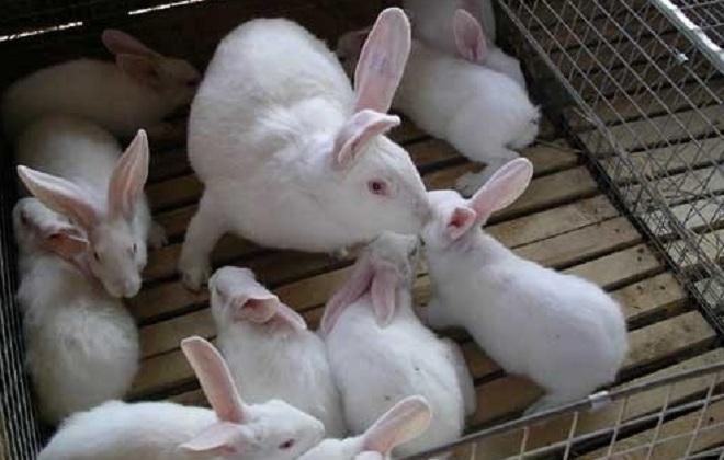 Кролики-великаны очень плодовиты