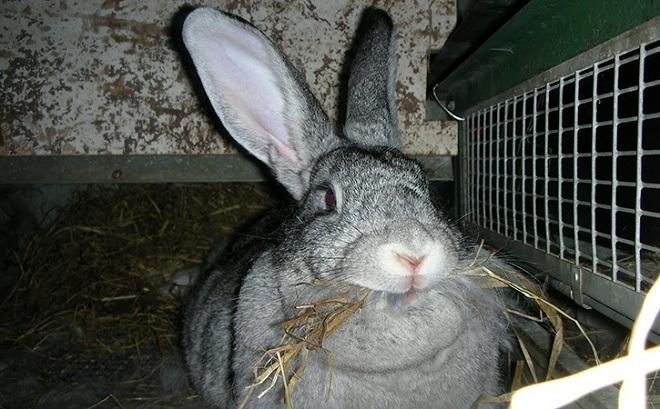 Давайте кроликам-великанам овес, ячмень и просушенную траву