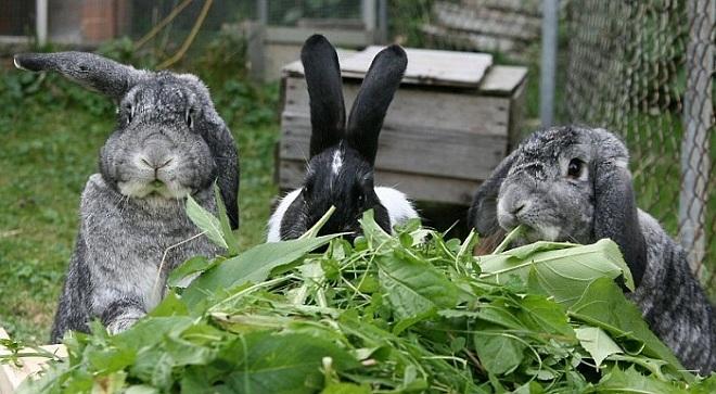 Подкладывайте веточки для стачивания зубов кролика