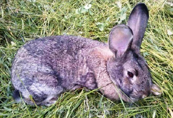 Что такое кокцидиоз у кроликов и чем лечить