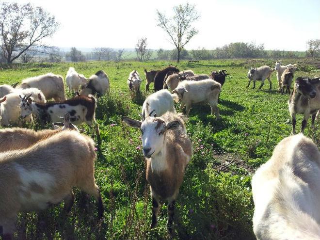 Безрогие козы имеют более спокойный характер