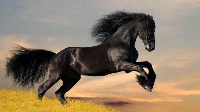 Фризскую породу называют черной жемчужиной Голландии