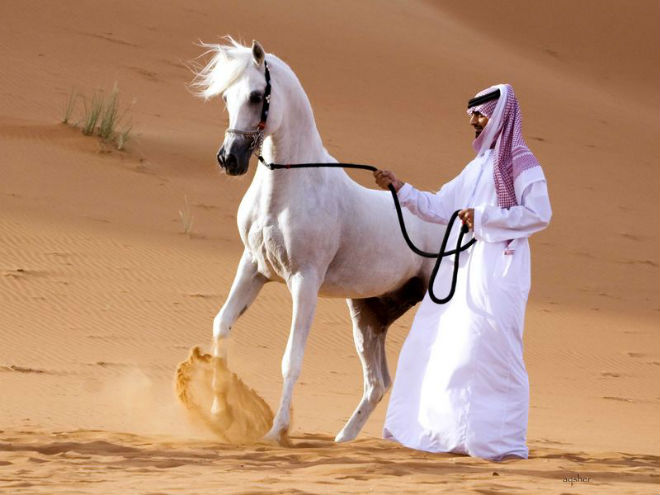 Арабские скакуны отличаются неповторимым экстерьером