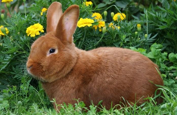 О кормлении кроликов картофелем нет единого мнения