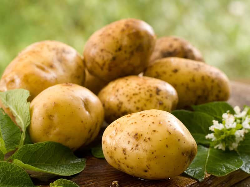 Картофель является неплохим дополнением к корму кроликов