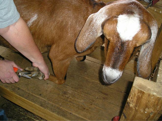 Обрезку копыт у коз нужно проводить обязательно