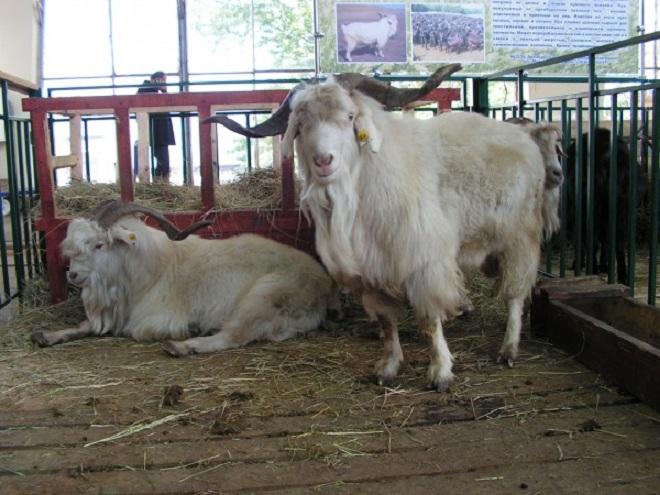 Оренбургские козы имеют однородную окраску шерсти
