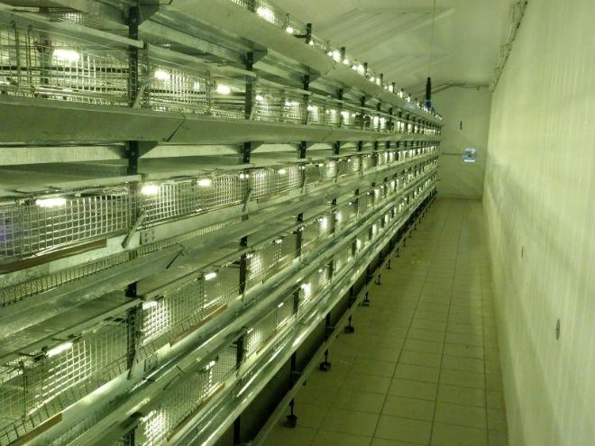 Освещение и световой режимсильно влияют на яйценоскость