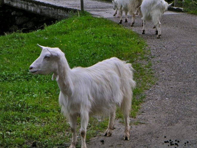 Аппенцелльская порода коз