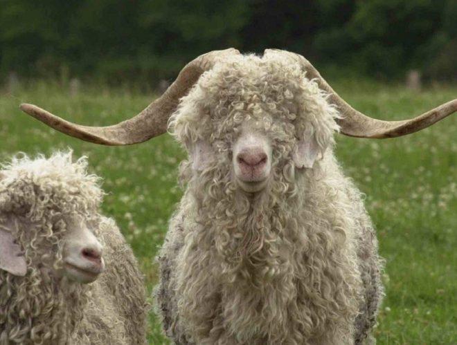 Шерсть ангорской козы очень курчавая и блестящая