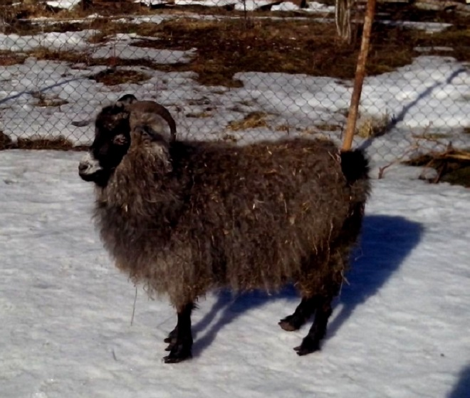 Особенности ферганских коз