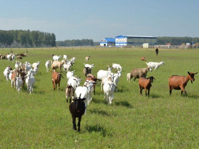 Домашние животные - козы