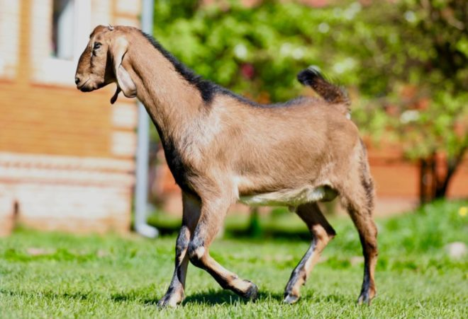Нубийские козы с большими висячими ушами