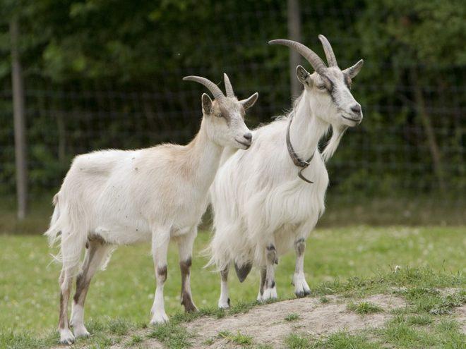Порода коз - русская белая