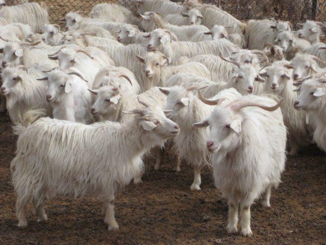 Кашемирская порода коз