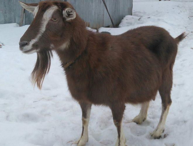 Окрас тюринговой породы коз