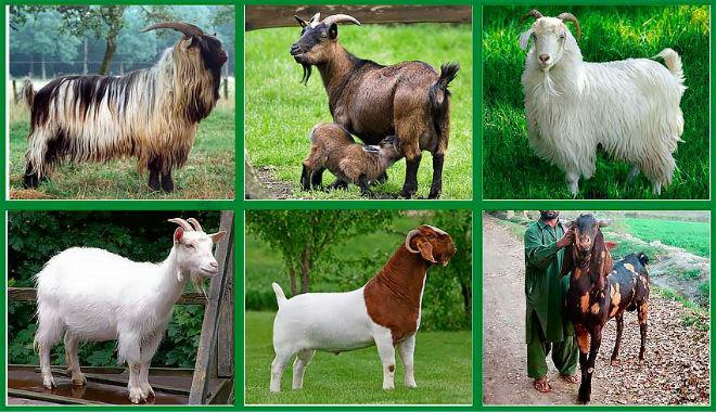 Козы держат ради шерсти, мяса и полезного молока