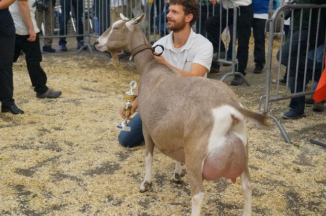 Тоггенбургские козы дают молоко с прекрасным вкусом