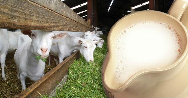 Важно правильное содержании и кормление коз