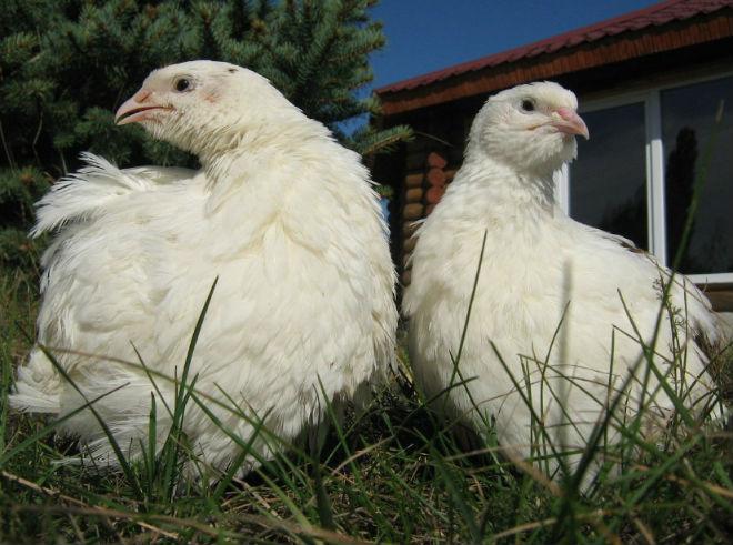 Белый техасский перепел относится к мясным породам