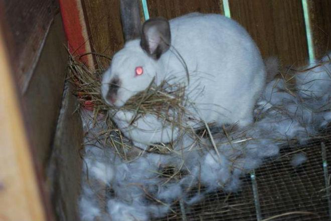 Крольчихе перед окотом дают на 30% больше корма