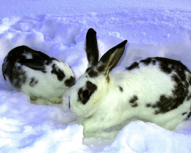 Зимнее время предпочтительнее для случки кроликов и окрола