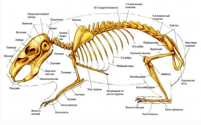 У кролика 212 костей,